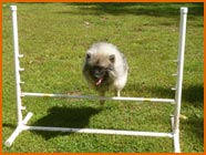 Keeshond jumping over dog hurdle.