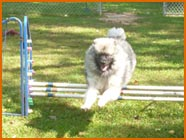 Keeshond jumping over dog hurdle 3 bars