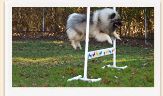 Keeshond Kami, dog obedience training