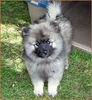 Keeshond in the yard.
