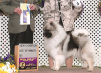 Sizzle, male Keeshond