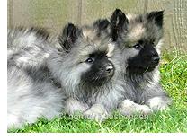 Keeshond pups