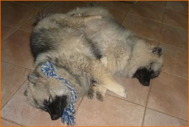 Two Keeshond pups sleeping on floor